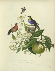 Humming Birds at the Brasils, with the nest on the Orange Tree